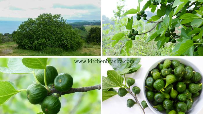 fichi verdi piante e frutto